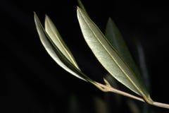 Folhas da azeitona Fotos de Stock Royalty Free