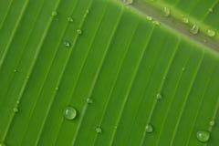Folhas da banana Fotografia de Stock Royalty Free