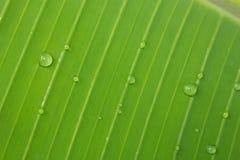 Folhas da banana Imagem de Stock Royalty Free