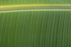 Folhas da banana Fotos de Stock Royalty Free