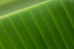 Folhas da banana Foto de Stock Royalty Free