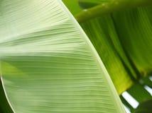 Folhas da banana Imagens de Stock Royalty Free