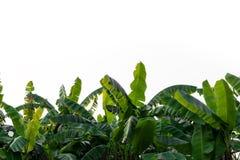 Folhas da banana isoladas no fundo branco foto de stock