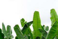 Folhas da banana no jardim Fotos de Stock