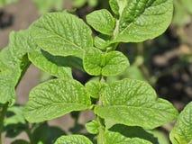 Folhas da batata Fotografia de Stock