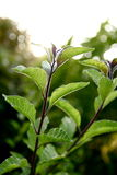 Folhas da batata frita que cintilam na luz solar Fotografia de Stock Royalty Free