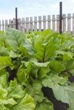 Folhas da beterraba e folhas verdes da alface Fotos de Stock Royalty Free
