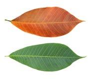 Folhas da borracha Foto de Stock