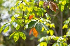 Folhas da borracha Imagem de Stock Royalty Free