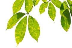 Folhas da borracha Imagem de Stock