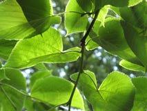 folhas da Cal-árvore Fotos de Stock