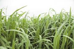 Folhas da cana-de-açúcar no campo Imagem de Stock