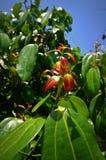 Folhas da canela Foto de Stock