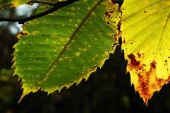 Folhas da castanha imagem de stock