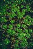 Folhas da castanha de água Fotografia de Stock