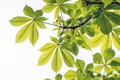 Folhas da castanha de cavalo imagem de stock