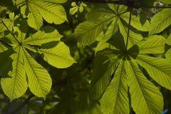 Folhas da castanha de cavalo Foto de Stock