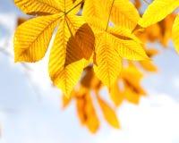 Folhas da castanha do outono na luz solar Foto de Stock Royalty Free