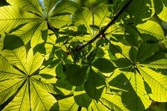 Folhas da castanha em um raio de sol imagens de stock royalty free