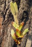 Folhas da castanha que crescem na primavera, Fotos de Stock Royalty Free