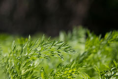 Folhas da cenoura Imagem de Stock Royalty Free