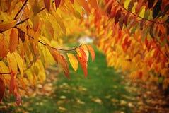 Folhas da cereja Imagem de Stock