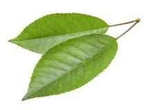 Folhas da cereja isoladas Fotografia de Stock