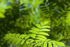 Folhas da cinza de montanha foto de stock royalty free