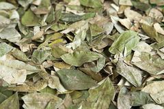 Folhas da coca Foto de Stock Royalty Free