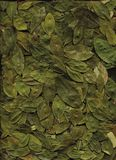 Folhas da coca Imagem de Stock