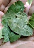 Folhas da coca Fotos de Stock