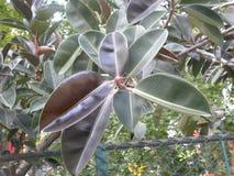 Folhas da cor do marrom verde e avermelhado da árvore da borracha fotografia de stock royalty free