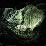 Folhas da couve em um montão do adubo Imagens de Stock Royalty Free