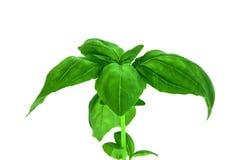 Folhas da erva da manjericão isoladas no branco Imagens de Stock