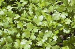 Folhas da erva do Cilantro fotografia de stock