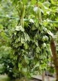 Folhas da erva em uma corda Fotografia de Stock