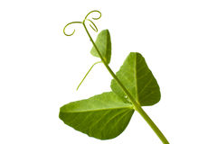 Folhas da ervilha com gavinha Fotografia de Stock