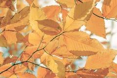 Folhas da faia Fotos de Stock