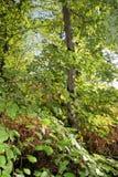 Folhas da faia Fotografia de Stock