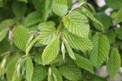 Folhas da faia Imagem de Stock