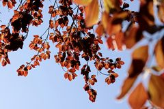 Folhas da faia de cobre Imagens de Stock