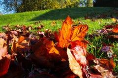 Folhas da faia de cobre no sol Foto de Stock Royalty Free