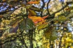 Folhas da faia em um dia ensolarado Fotos de Stock