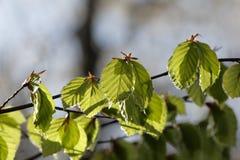 Folhas da faia na mola Imagem de Stock