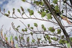 Folhas da faia na mola Imagem de Stock Royalty Free