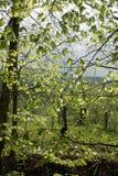 Folhas da faia na mola Imagens de Stock