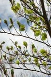 Folhas da faia na mola Fotografia de Stock