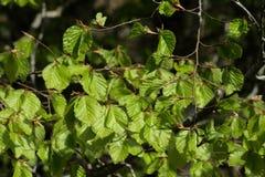 Folhas da faia na mola Foto de Stock