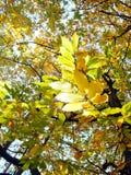 Folhas da faia no outono Foto de Stock Royalty Free