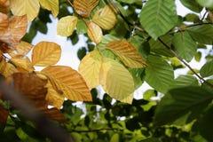 Folhas da faia no outono Fotografia de Stock Royalty Free